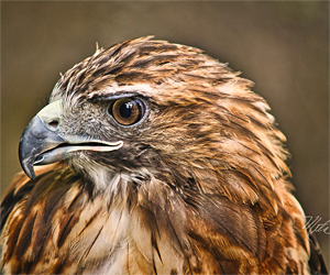 Photos By Meta - Red Tailed Hawk